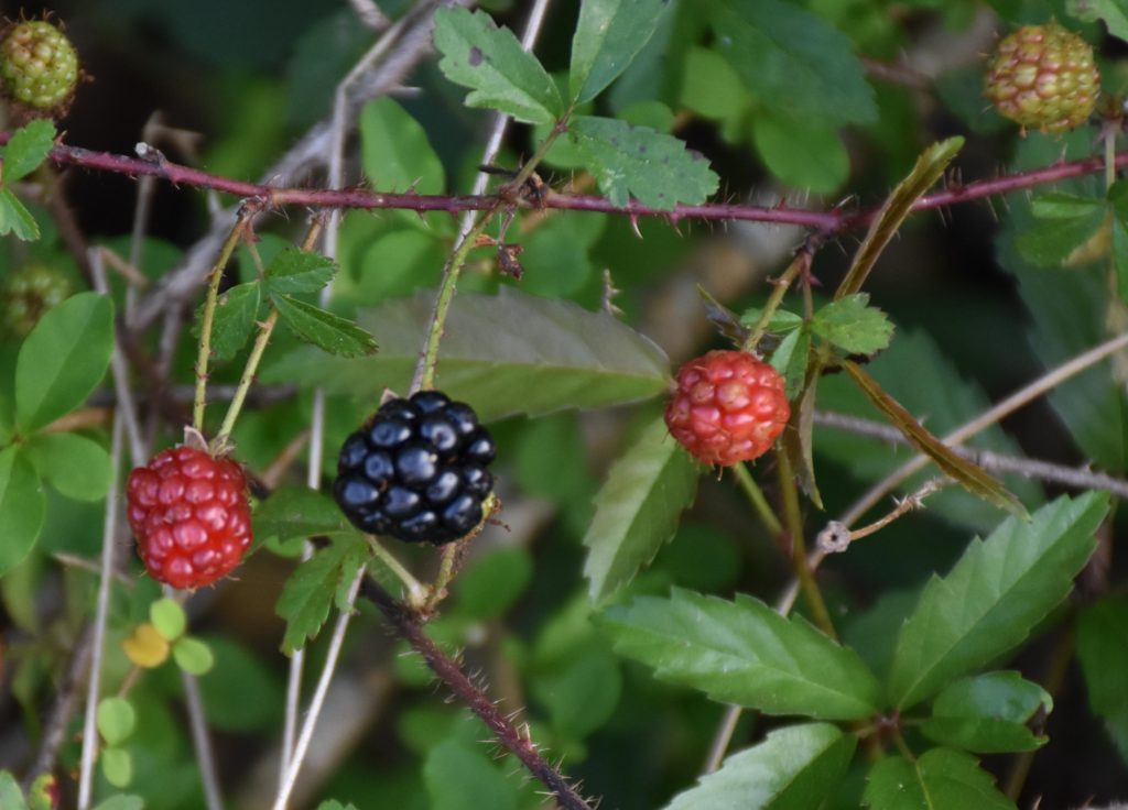 Dewberries Favor the Brave and 10 Tips to Forage wild berries www.diningwithmimi.com