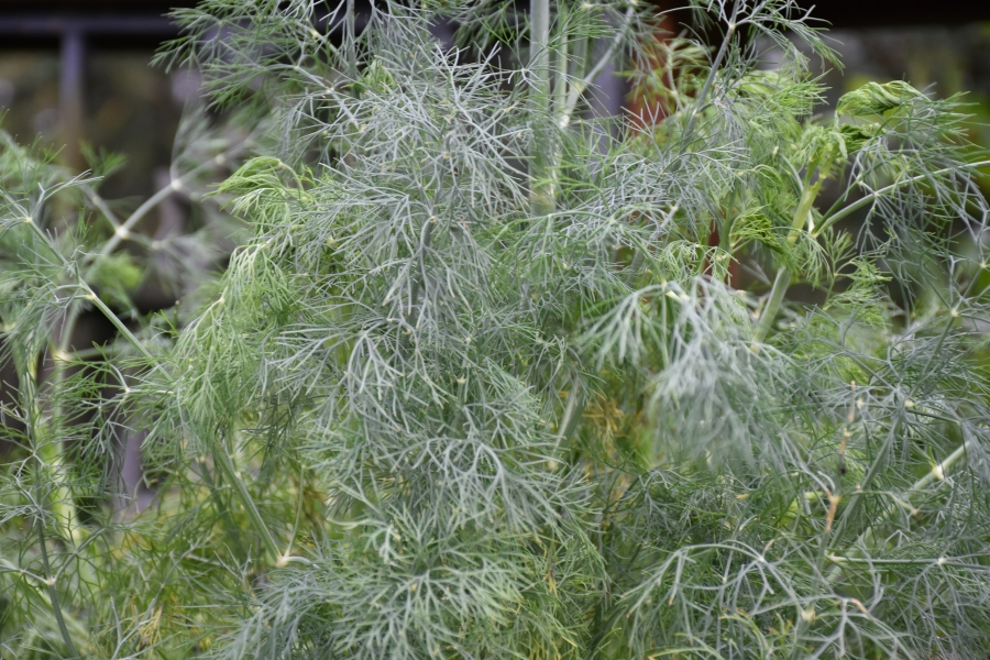 Fresh lush dill for Mimi's Outsider Chef culinary tips-Dill www.diningwithmimi.com