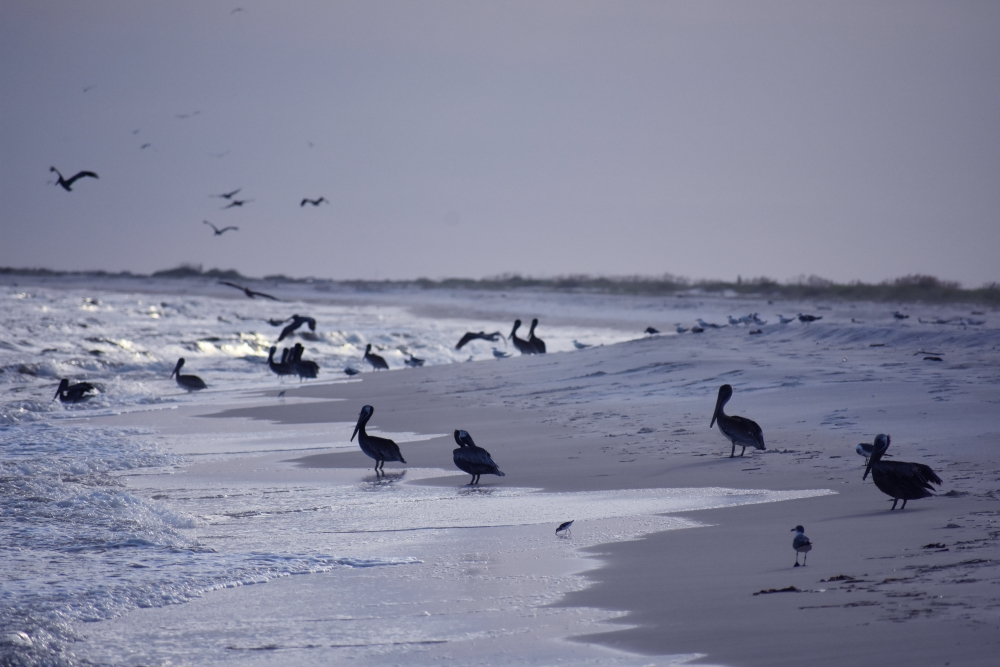 Birds dig downtime on Dauphin Island www.diningwithmimi.com