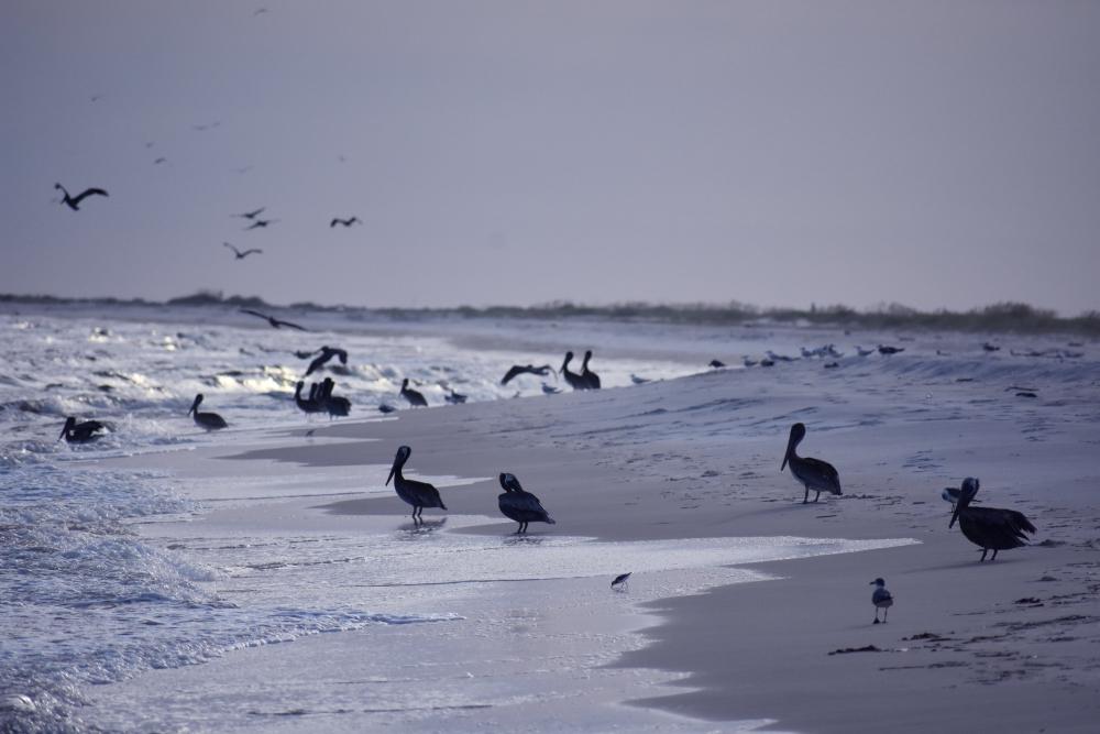 Birds dig downtime on Dauphin Island www.diningwithmimi.com